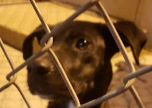 This  Labrador-mix was found alone and hungry at a Tulare County this week.