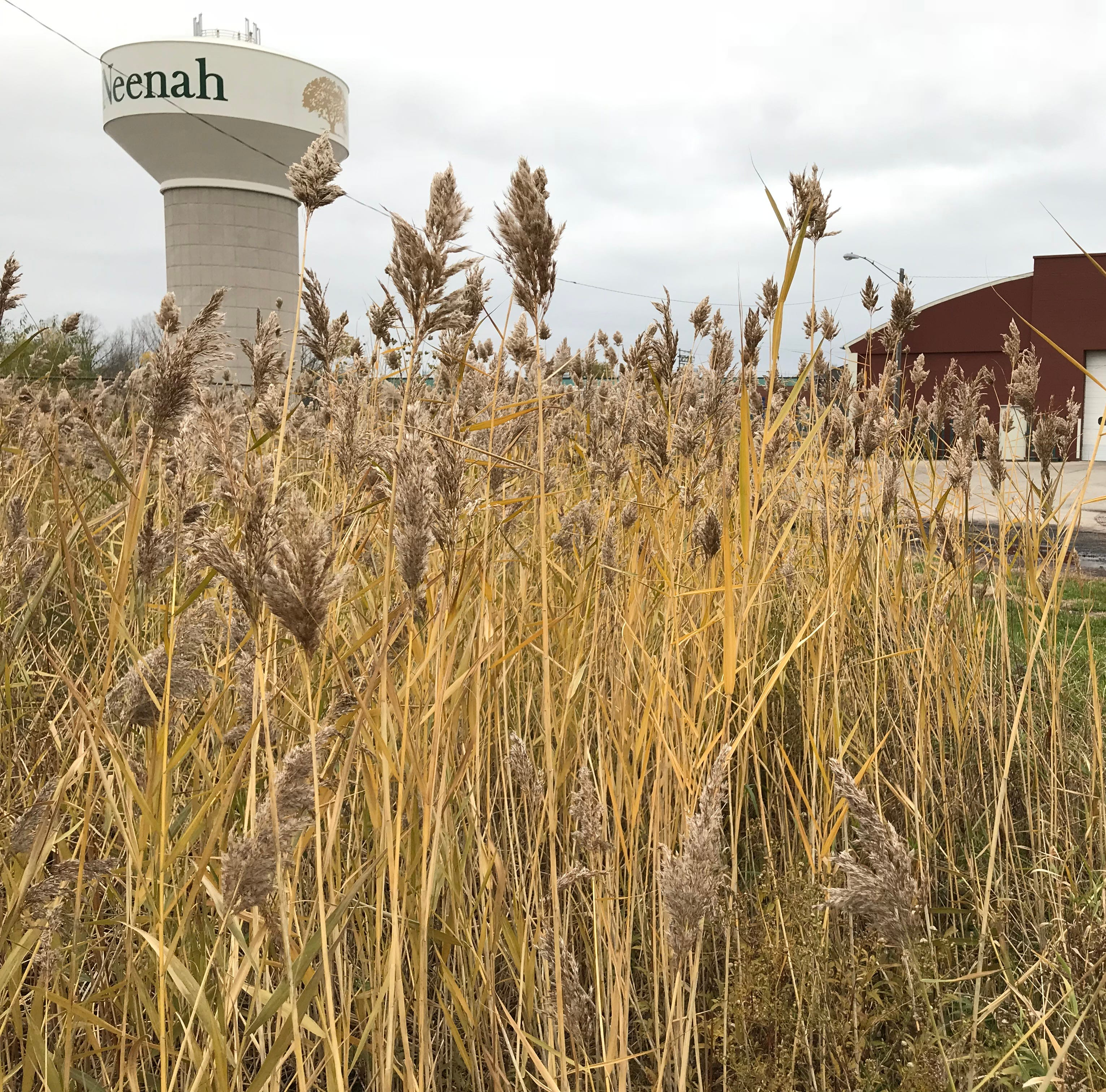 Neenah, DNR work to control stand of invasive phragmites on city property