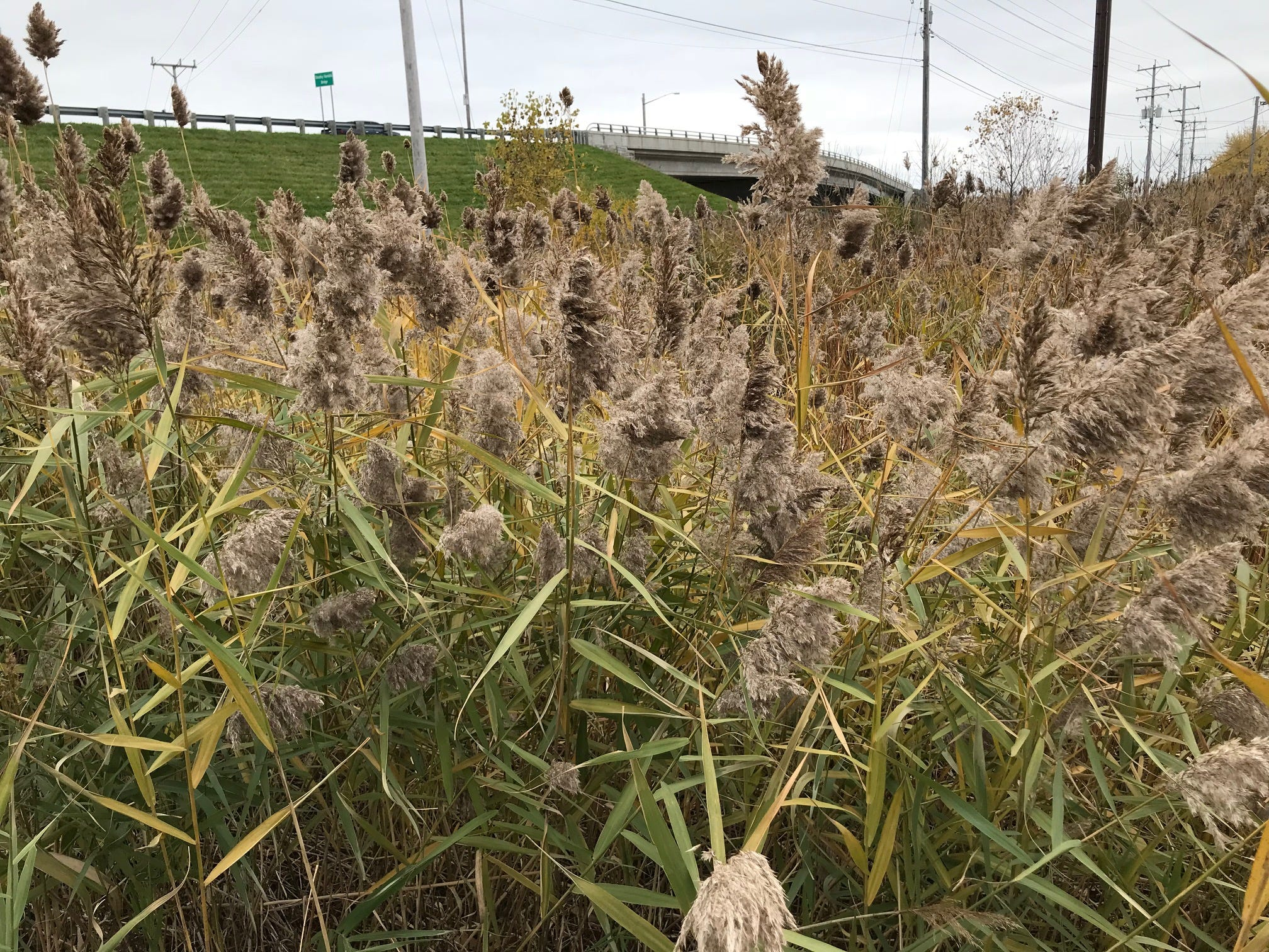 A wetland near the Cecil Street overpass in Neenah contains non-native phragmites. They have thick, feather-like seed heads.
