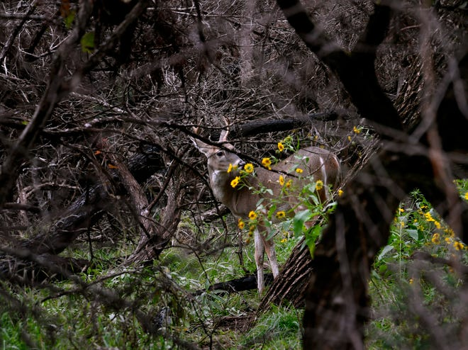 A buck pauses in a clearing at Abilene State Park Thursday. A wet fall has provided an abundance of feed for deer and young bucks, who appear to have overall favorable numbers in the northern half of the state, according to Texas Parks and Wildlife.