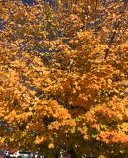The best color Columnist John Boyle has spotted this fall was in a downtown Asheville parking lot, where this maple was ablaze.
