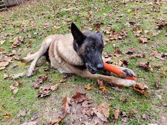Brisco, who will officially retire from the Black Mountain Police Department in December, chews his favorite toy at home.