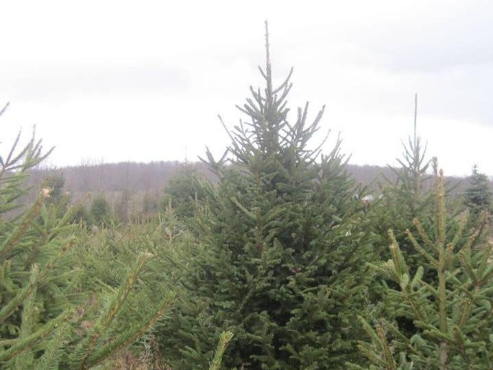 Country Heritage Farm, 129 Plains Rd. in Augusta, is a cut-your-own Christmas tree farm with Douglas Fir, Norway Spruce, Blue Spruce and Fraser Fir, along with wreaths and greens. On special days, the Farms' beautiful Newfoundland dogs deliver the trees by wagon.