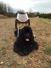Country Heritage Farm, 129 Plains Rd. in Augusta, a cut-your-own Christmas tree farm with Douglas Fir, Norway Spruce, Blue Spruce and Fraser Fir, along with wreaths and greens. On special days, the Farms' beautiful Newfoundland dogs deliver the trees by wagon. Here one waits for a tree.