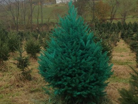 Indian Ridge Farms, 161 Rose Morrow Rd. in Wantage, is a cut-your-own tree farm with Balsam Fir, Douglas Fir, Red Pine, Canaan Fir, Fraser Fir, Concolor Fir and Grand Fir trees. For the first time this year, Indian Ridge Farms are selling colored trees.