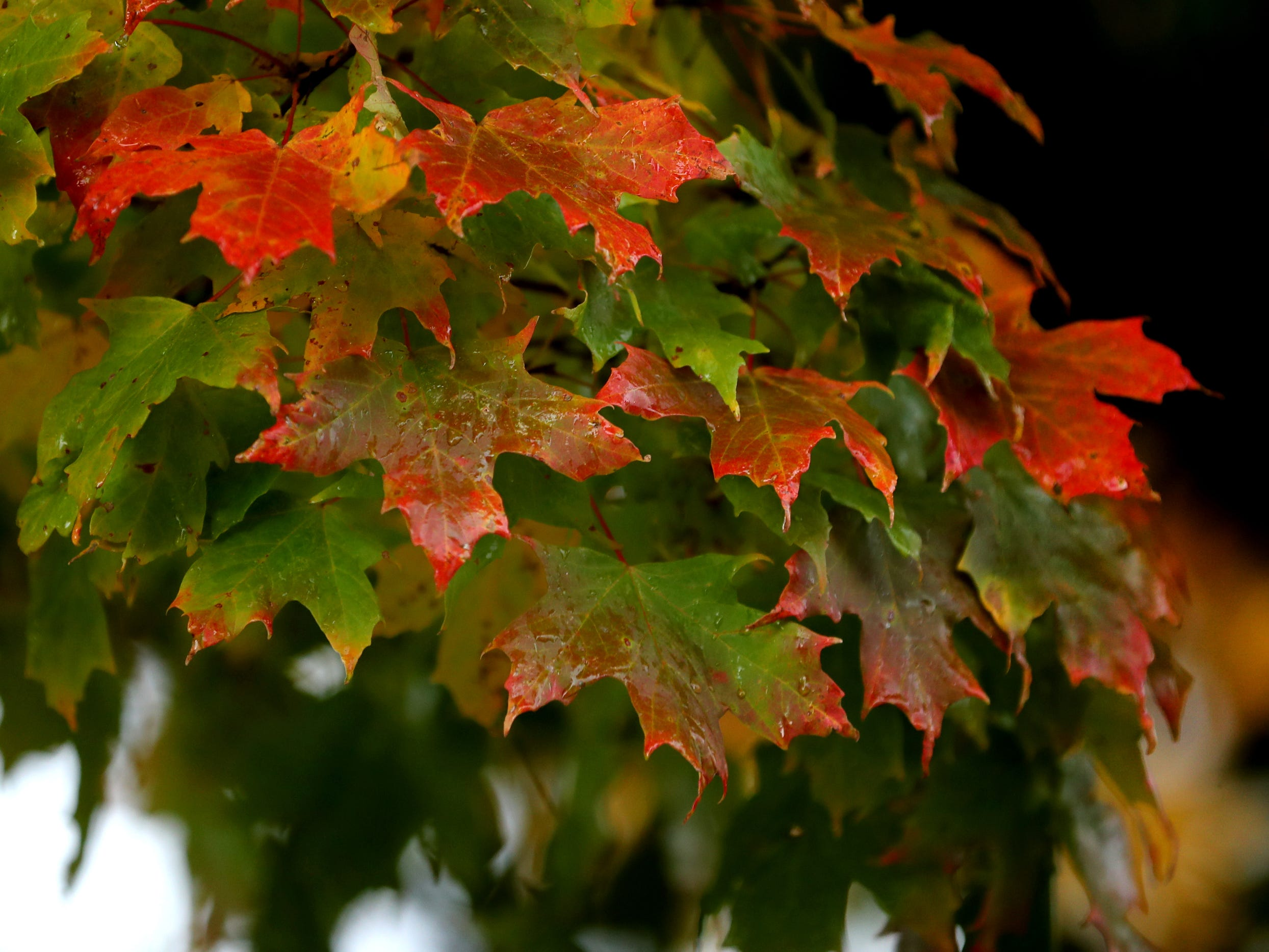 Not all the leaves in the Murfreesboro downtown area have reached their full color, on Thursday, Nov. 1, 2018. Some trees have leaves near the bottom of the tree that are either still green or just starting to change.