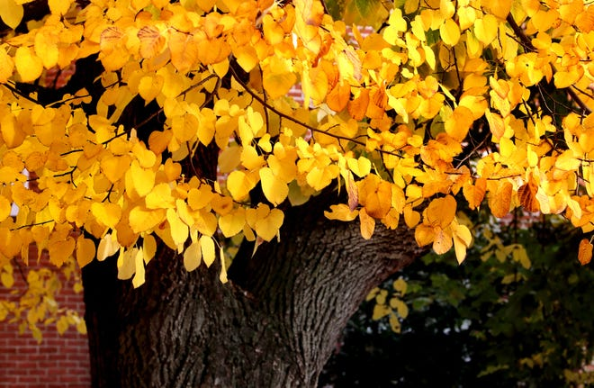 The bottom leaves of a Ginkgo tree remain yellow and bright on the lawn of the Rutherford County Courthouse although leaves near the top of the tree are beginning to dye and brown, on Thursday, Nov. 1, 2018.