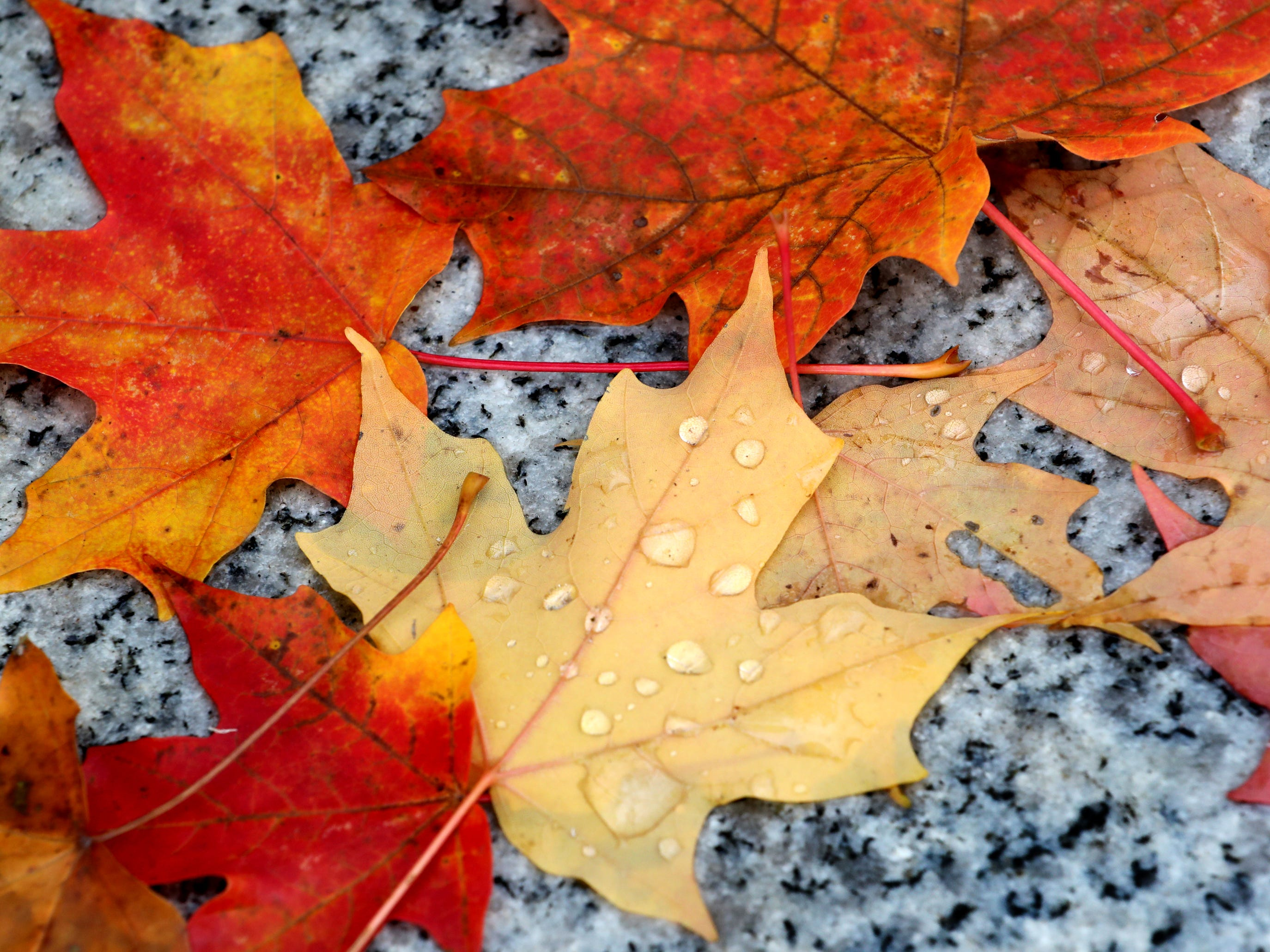 Colorful leaves catch droplets of water after falling on a monument on the Murfreesboro Public Square, on Thursday, Nov. 1, 2018.