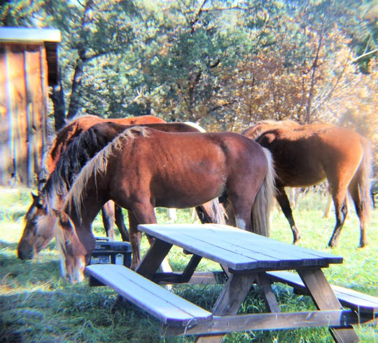 The released horses are back in their favorite spots in Alto.