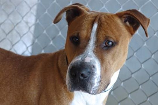 Syndrome is an adorable boxer-shar pei mix.
