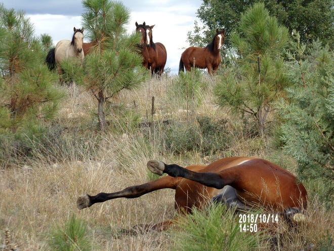 Horses stand around the site where two horses were shot in Apache-Sitgreaves National Forest.