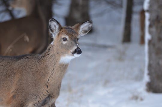 A white-tailed deer is shown in winter in Marquette County.