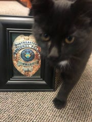 "Northeastern Regional Police Chief Bryan Rizzo found this kitten inside the vacant New York Wire building while investigating a burglary there Nov. 1, 2018. Dubbed ""Li'l Chief,"" the kitten is now living in Rizzo's office until a good home can be found, police said."