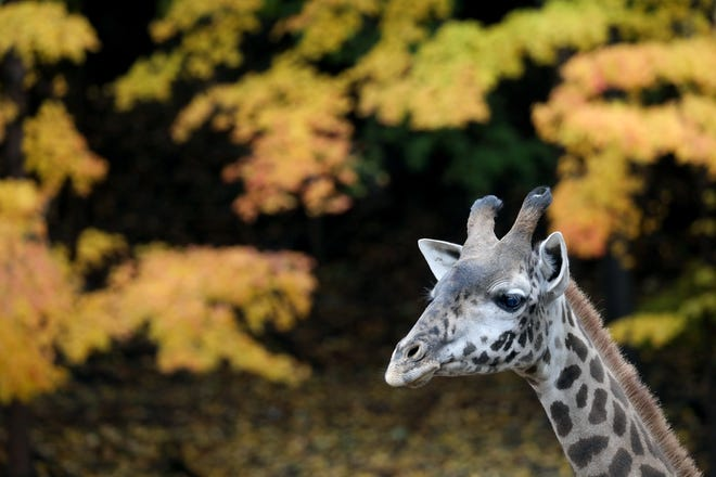 """Two-year-old Masai giraffe """"Parker"""" is the new addition to Seneca Park Zoo's Animals of the Savanna expansion."""