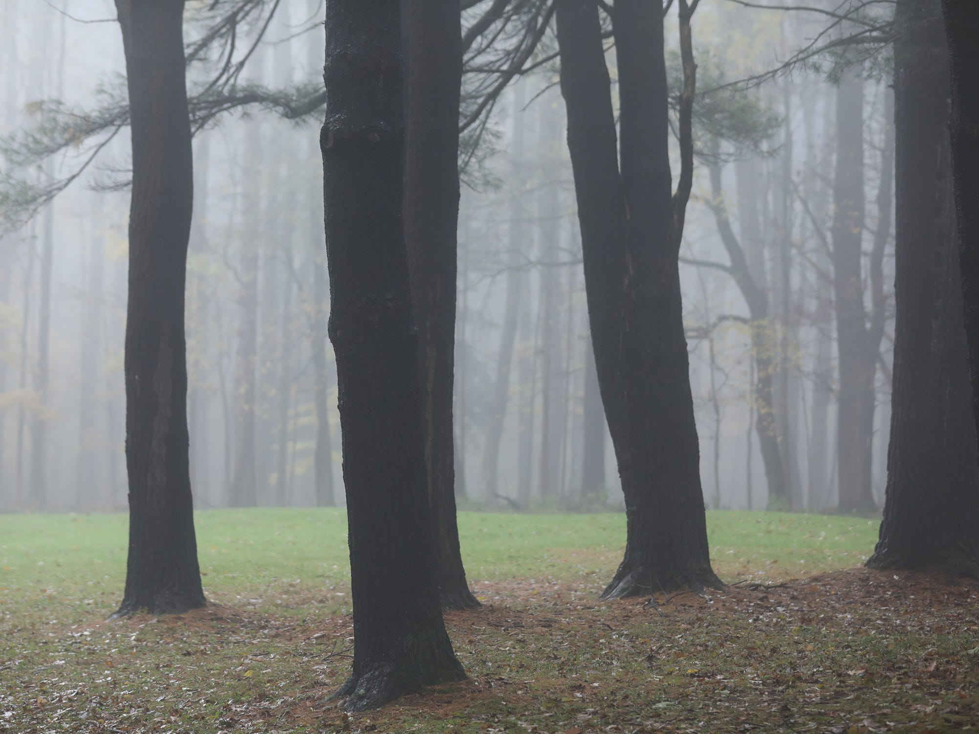 Trunks look like just vertical lines in the thick fog at Letchworth State Park.