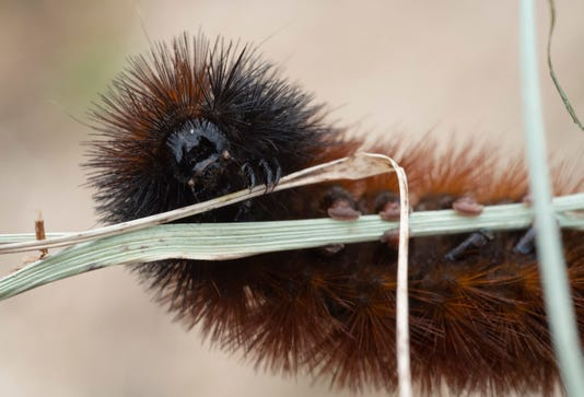 News Woolly Bear Caterpillar