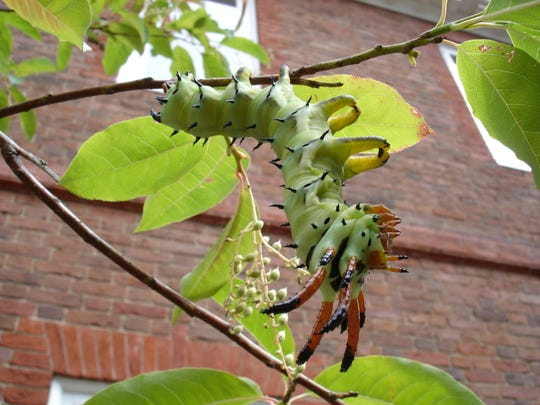 The hickory horned devil life journeys from a leaf-eating caterpillar to an emerging adult Regal moth.