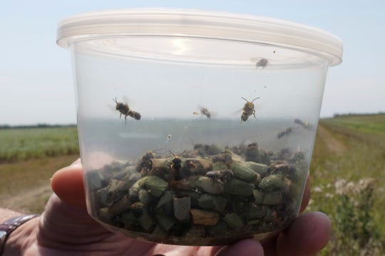 Alfalfa leafcutter bees fly around a container near Fargo, N.D., on Thursday, Aug. 16, 2018. The insect isn't native to North America. But farmers and researchers noticed that when they kept leafcutter bees nearby, the production of alfalfa seeds tripled.