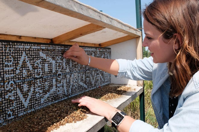 Elisabeth Wilson pulls an alfalfa leafcutter bee nest out from the NDSU's Insect Cryobiology and Ecophysiology lab's bee hotel in Fargo, N.D., on Thursday, Aug. 16, 2018. The lab is a partnership between the university and the U.S. Department of Agriculture.