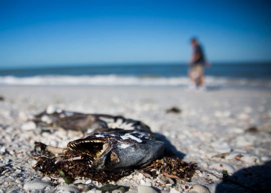 Dead marine life lines the shore in April 2018 at Barefoot Beach Preserve County Park.