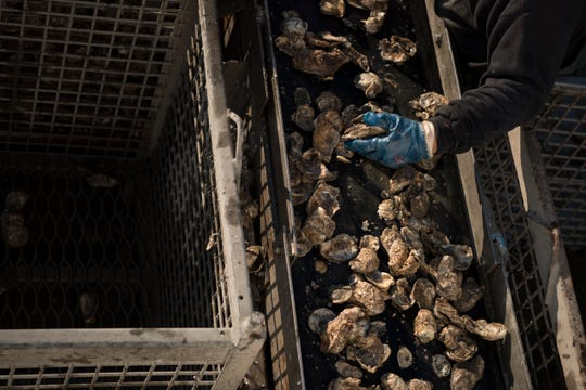 Terry Smith sorts oysters on an oyster boat on the Delaware Bay on Thursday, November 1, 2018.