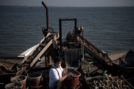 Justin Dickenson sorts oysters on an oyster boat on the Delaware Bay on Thursday, November 1, 2018.