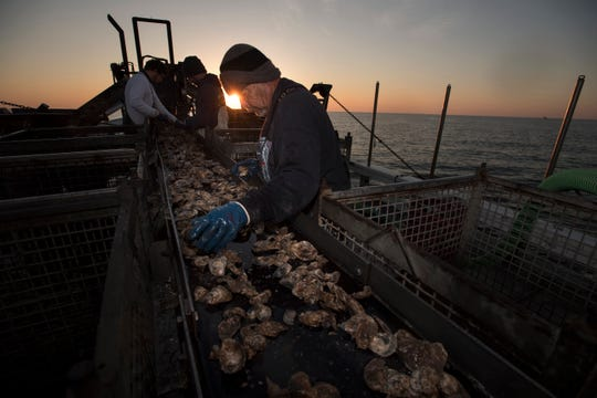 Terry Smith sorts oysters shortly after sunrise on an oyster boat on the Delaware Bay on Thursday, November 1, 2018.