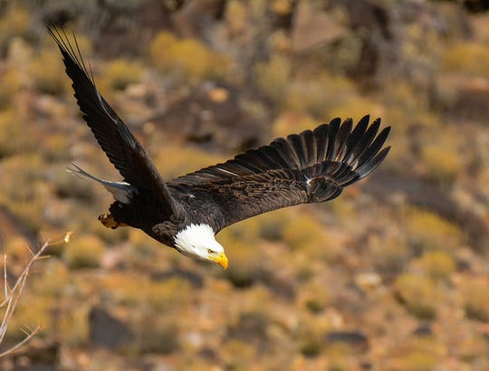 Wildlife watchers may get the pleasure of seeing a majestic bald eagle and other birds of prey in flight on public land.
