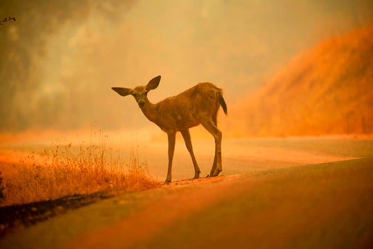 In this July 28, 2018, file photo, a deer grazes along a road covered in fire retardant as the Carr Fire burns near Redding. More than 80 families who lost their homes in the deadly Carr Fire in July have learned weeks or months later that their dogs and cats had survived the deadly disaster. A network of about 35 volunteers, called Carr Fire Pet Rescue and Reunification, is responsible for many of the happy endings and continues to track and catch missing pets nearly two months after the fire was extinguished.