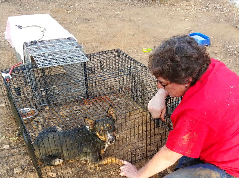 In this Oct. 27, 2018, photo Robin Bray comforts Buddy the dog after she and another volunteer captured him after weeks of failed attempts in Redding. Bray is among a group of 35 volunteers known as Carr Fire Pet Rescue and Reunification responsible for reuniting at least 80 families with pets feared killed in the Carr Fire this past summer. More than 80 families who lost their homes in the deadly Carr Fire in July have learned weeks or months later that their dogs and cats had survived the deadly disaster.