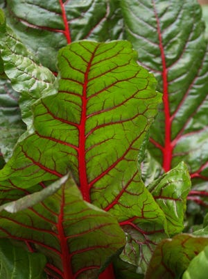 Swiss chard is colorful and hardy, often lasting well into the summer.