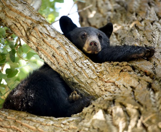 This photo taken Sept. 8, 2018, shows a young black bear in a tree near the intersection of Hawthorn Avenue and Glenwood in Kalispell, Mont., was safely rescued by Kalispell Police, Flahtead County Sheriff's Office Animal Control, Kalispell Fire, and Erik Wenum of Montana Fish, Wildlife and Parks. The bear seemed to go out of his way to make things as easy for rescuers as possible, coming down the tree rather than going further up and was easily and safely caught. Once the tranquilizers had taken effect Wenum gave onlookers a rare closer look at the bear who he estimated to be about a year and half. The bear weighed 68 pounds and has been safely transported out of the area. (Brenda Ahearn/The Daily Inter Lake via AP)