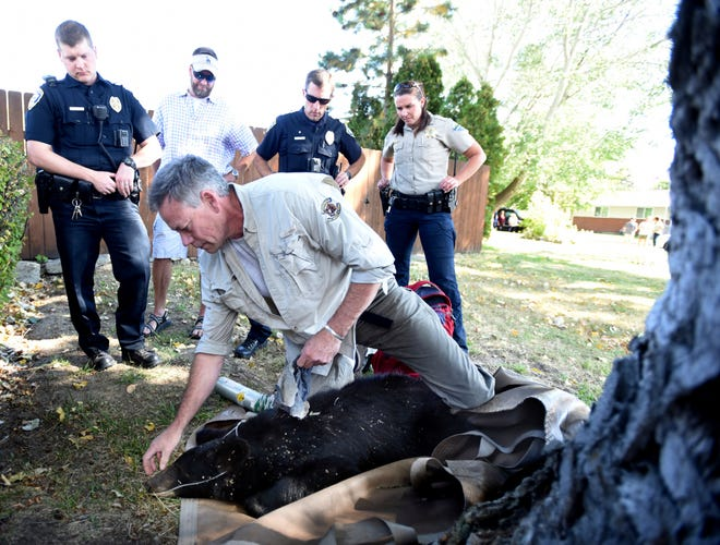 This photo taken Sept. 8, 2018, shows Erik Wenum of Fish, Wildlife and Parks assessing a young black bear that had climbed a tree in a Kalispell neighborhood near Kalispell Middle School in Kalispell, Mont. The bear was safely rescued by Kalispell Police, Flahtead County Sheriff's Office Animal Control, Kalispell Fire, and Montana Fish, Wildlife and Parks. At least seven calls came into the the 911 Call Center with reports of the bear in the Three Mile Drive area and in the community garden. (Brenda Ahearn/The Daily Inter Lake via AP)