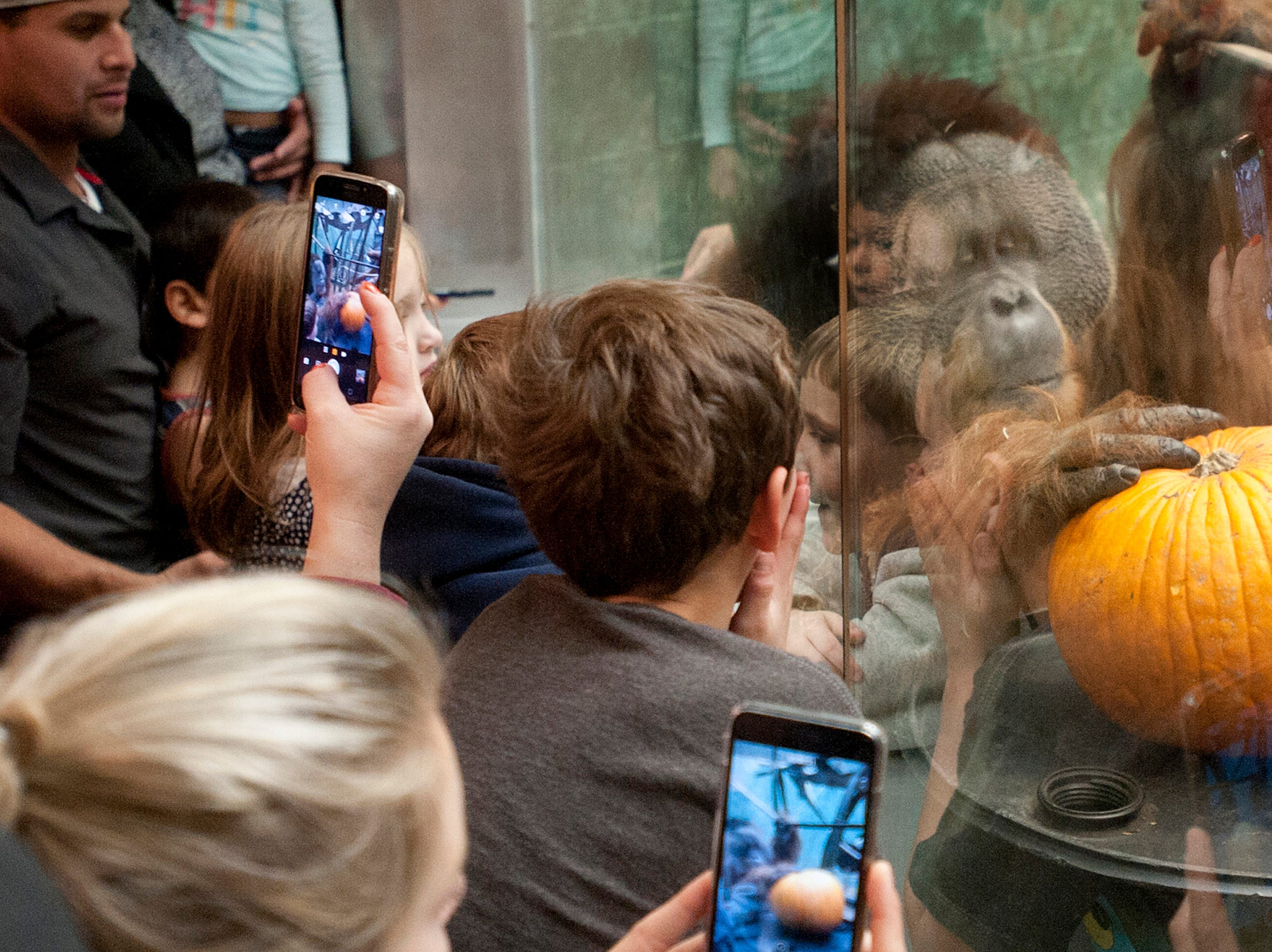 Visitors to the zoo use their smart phones to photograph Teak, an orangutan at the Louisville Zoo's annual pumpkin smash as he checks one out. The pumpkins being fed to the animals are from the zoo's Halloween event. November 04, 2018