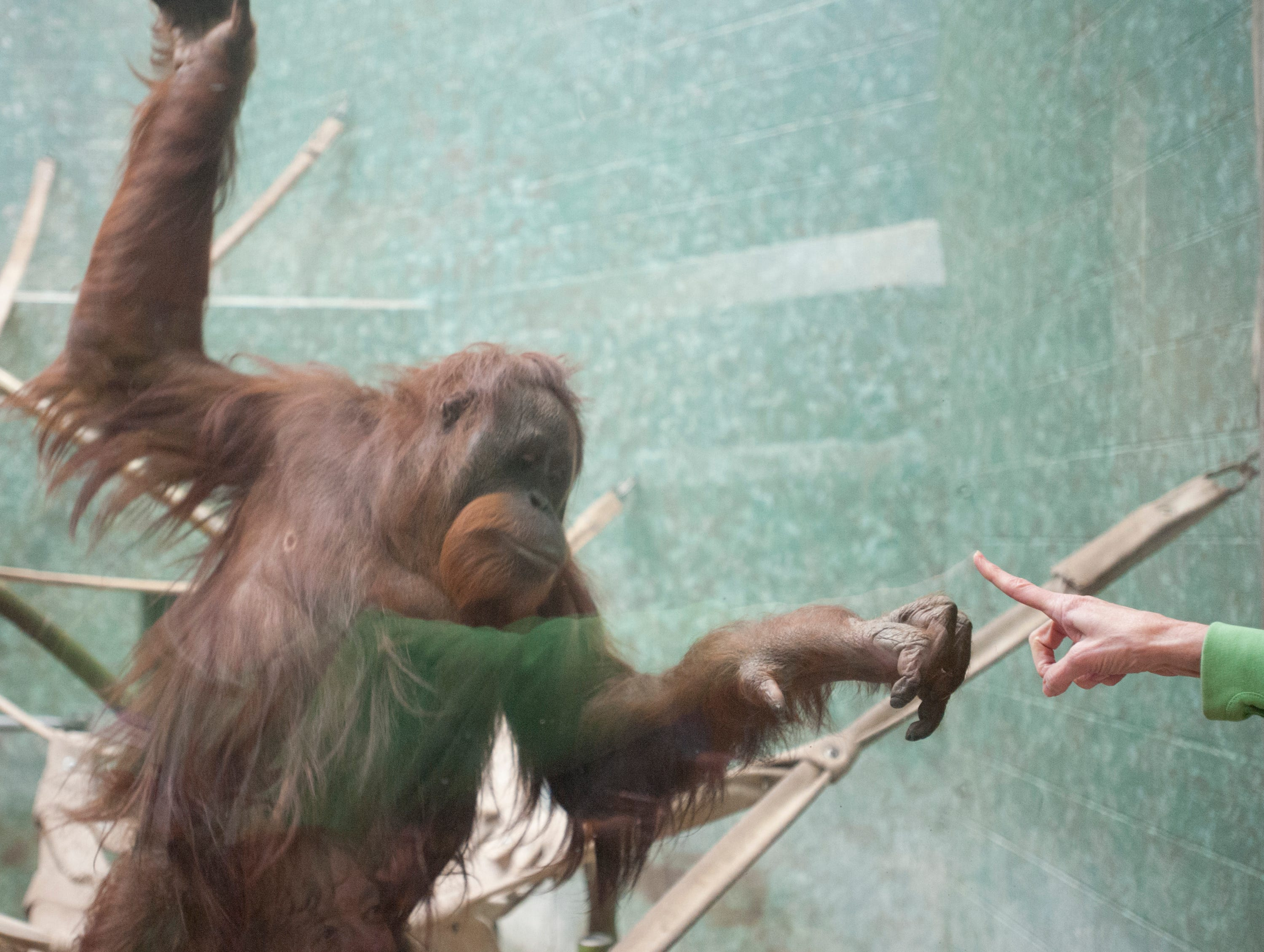 Bella, an orangutan at the Louisville Zoo reaches out to touch a human finger through a glass partition. November 04, 2018