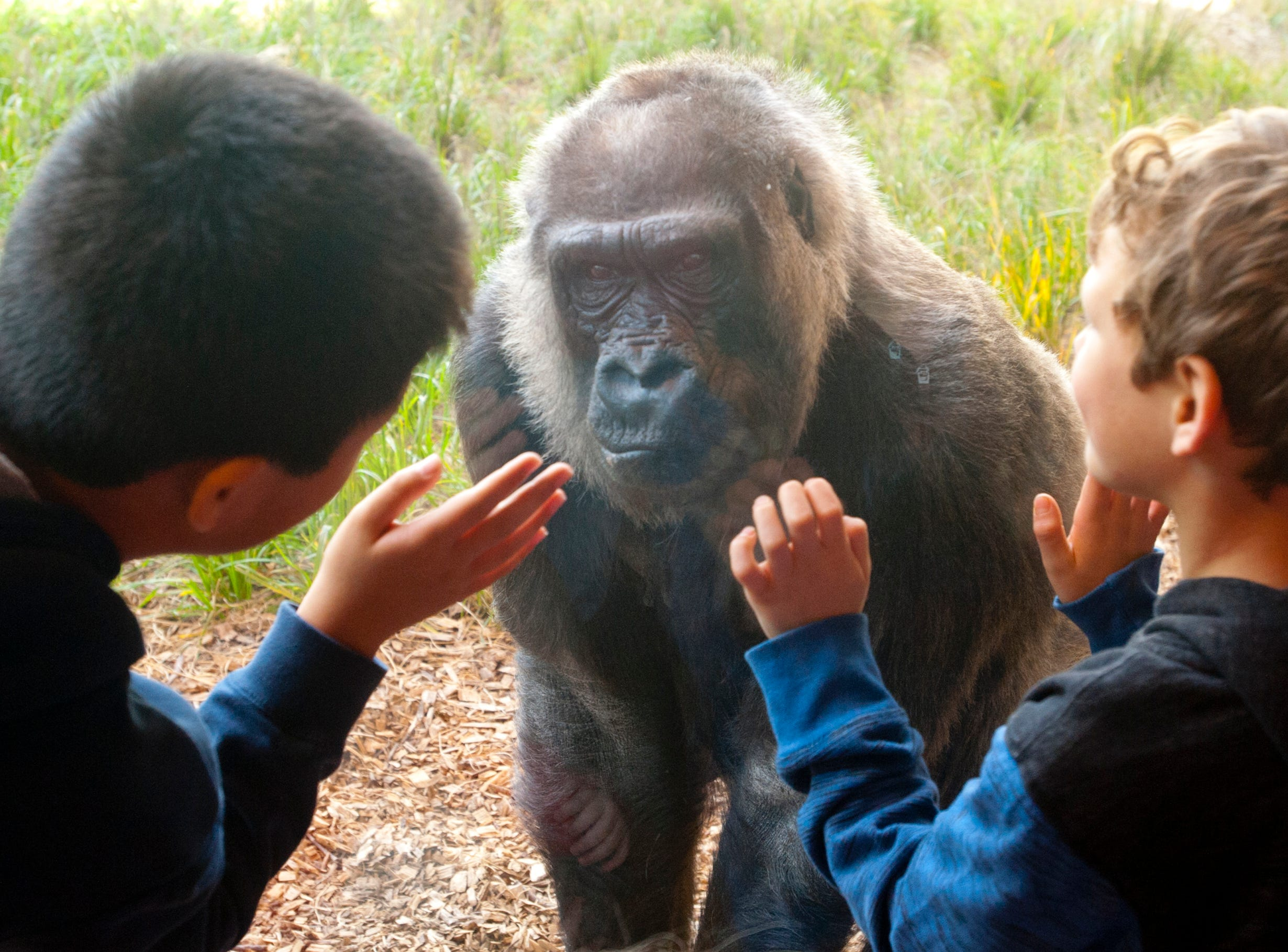 Children separated by a thick plate glass get a close look at Helen, 60, the second oldest gorilla in North America under management. November 04, 2018