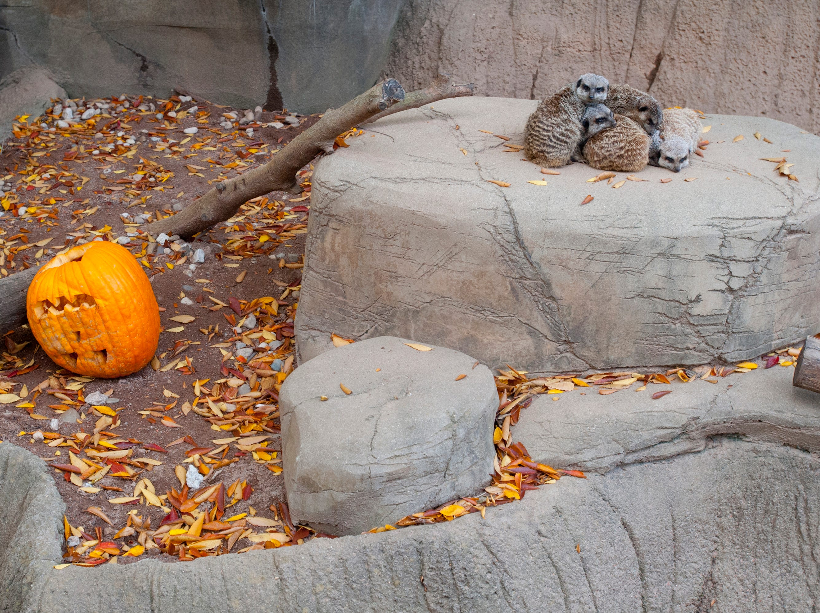 Meerkats were less interested in a pumpkin than they were staying warm in the cool weather at the Louisville Zoo's annual pumpkin smash. The pumpkins being fed to the animals are from the zoo's Halloween event. November 04, 2018