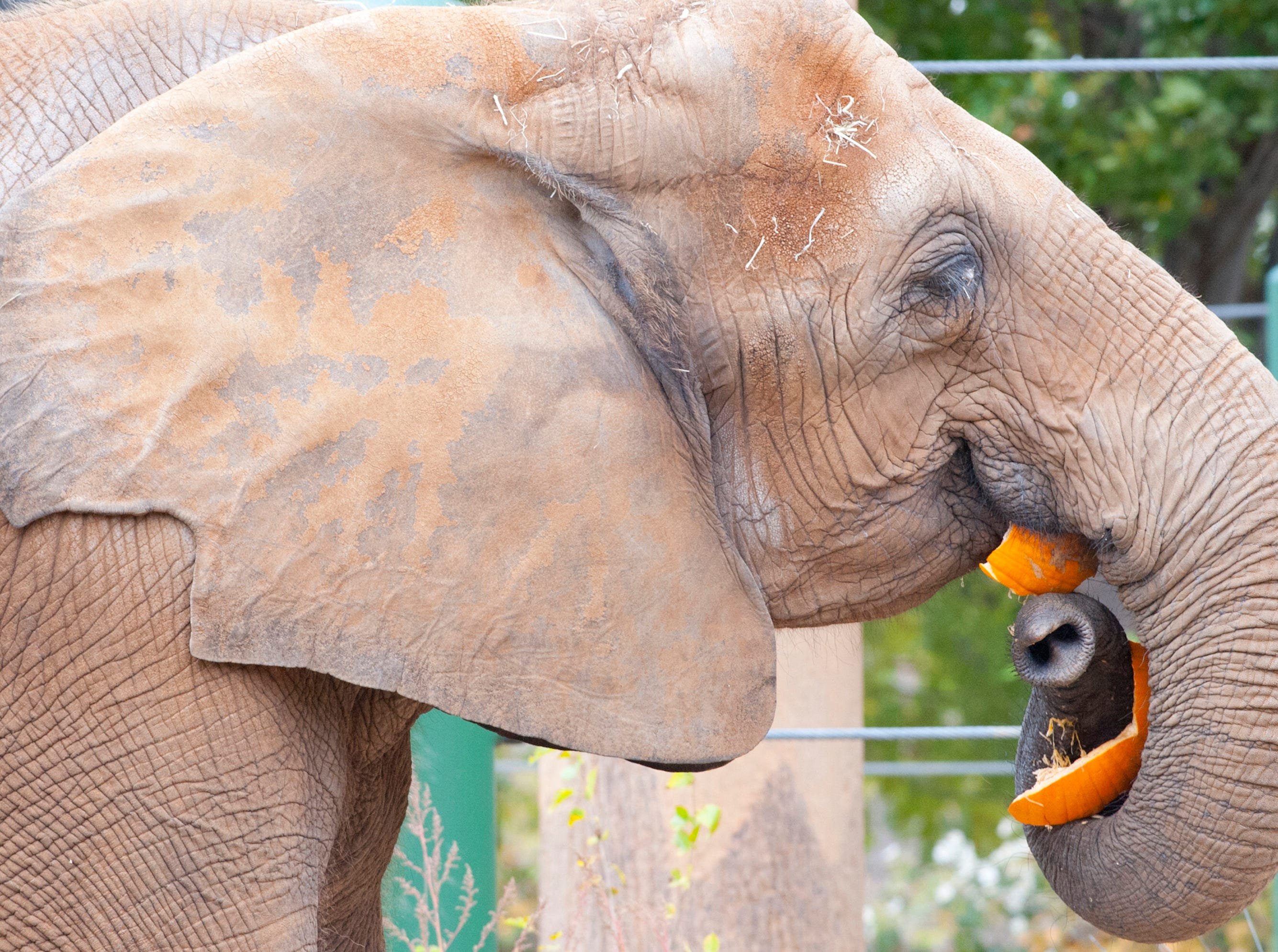 Mickki works on a pumpkin at the Louisville Zoo's annual pumpkin smash. The pumpkins being fed to the animals are from the zoo's Halloween event. November 04, 2018