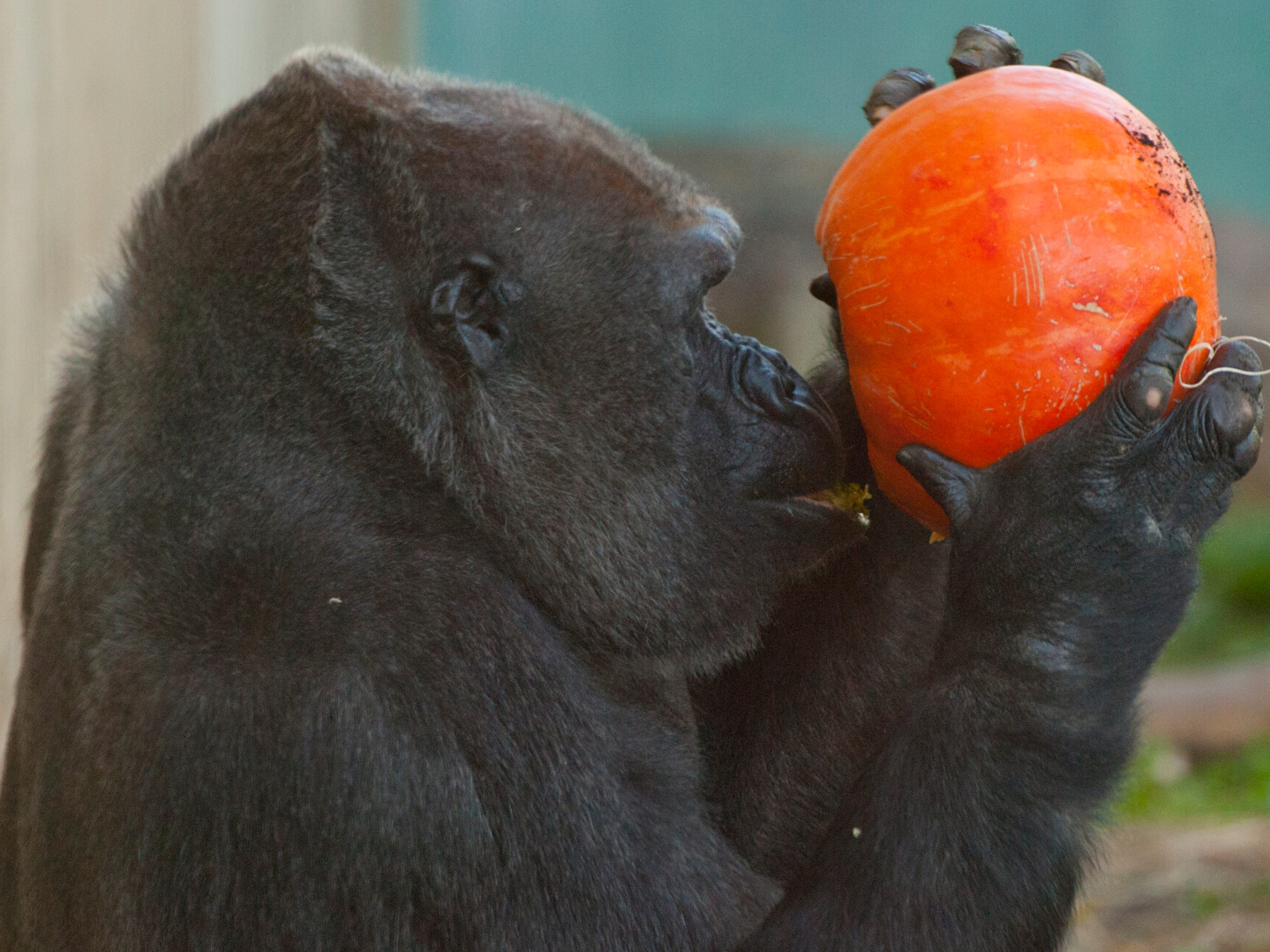 Kwelt, a Western lowland gorilla checks out a pumpkin with her surrogate daughter, Kindy, age 2,  during the Louisville Zoo's annual pumpkin smash. The pumpkins being fed to the animals are from the zoo's Halloween event. November 04, 2018