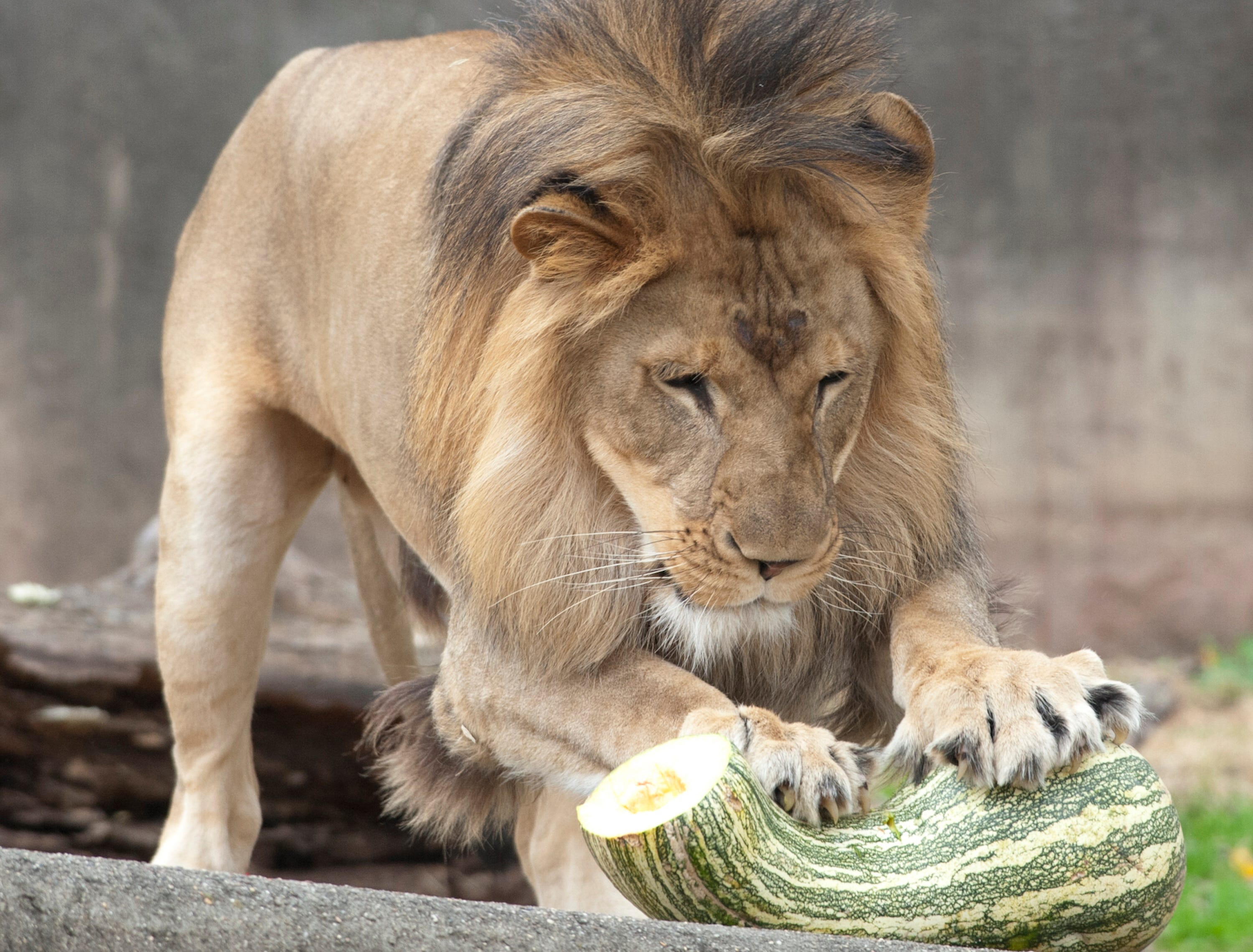 Siyanda, a 3-yr-old male lion pounces on a gourd at the Louisville Zoo's annual pumpkin smash. The pumpkins being fed to the animals are from the zoo's Halloween event. November 04, 2018