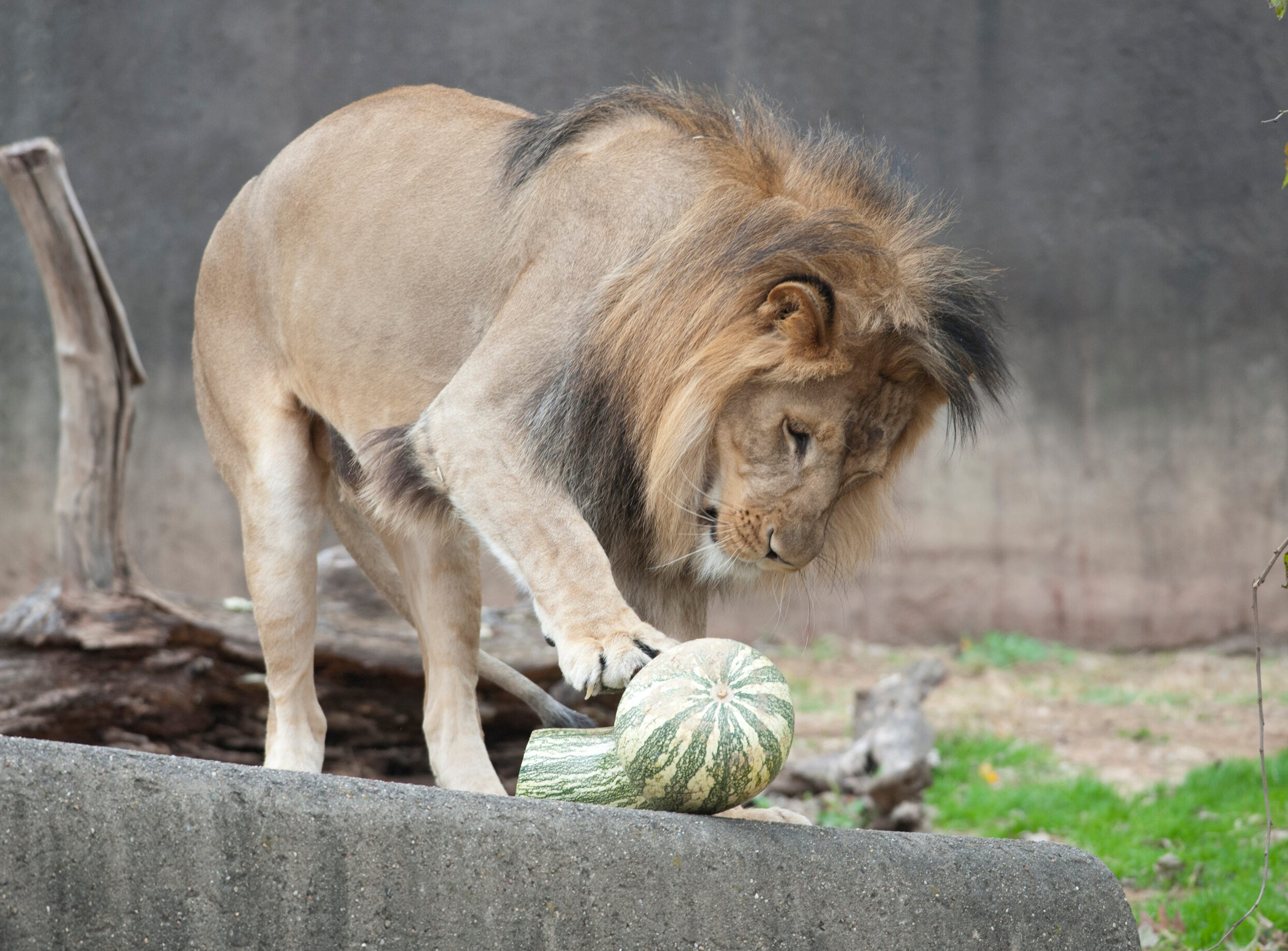 Siyanda, a 3-yr-old male lion investigates a gourd at the Louisville Zoo's annual pumpkin smash. The pumpkins being fed to the animals are from the zoo's Halloween event. November 04, 2018