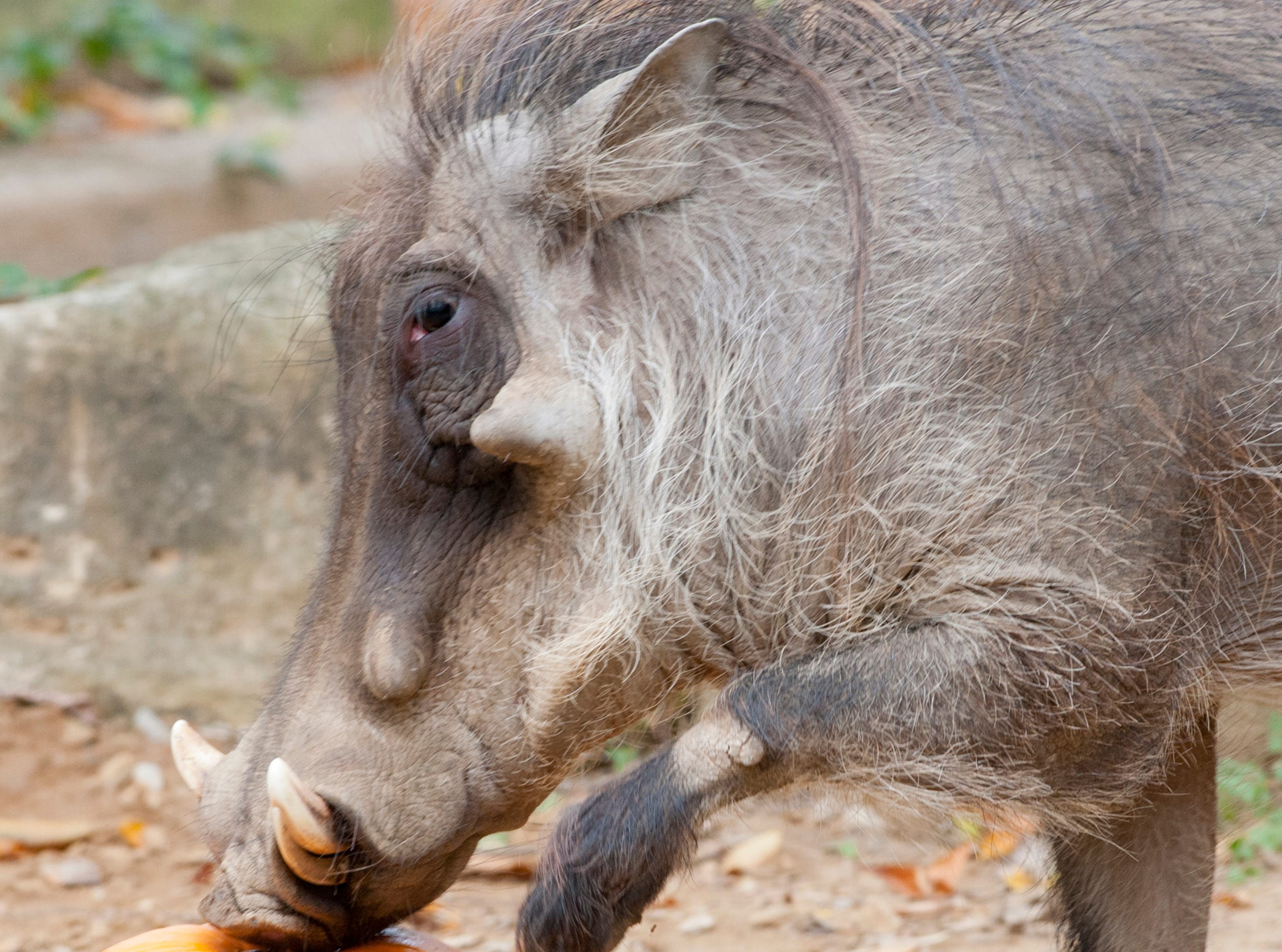 Digger, a warthog at the Louisville Zoo tries to get get into a pumpkin during the zoo's annual pumpkin smash. The pumpkins being fed to the animals are from the zoo's Halloween event. November 04, 2018