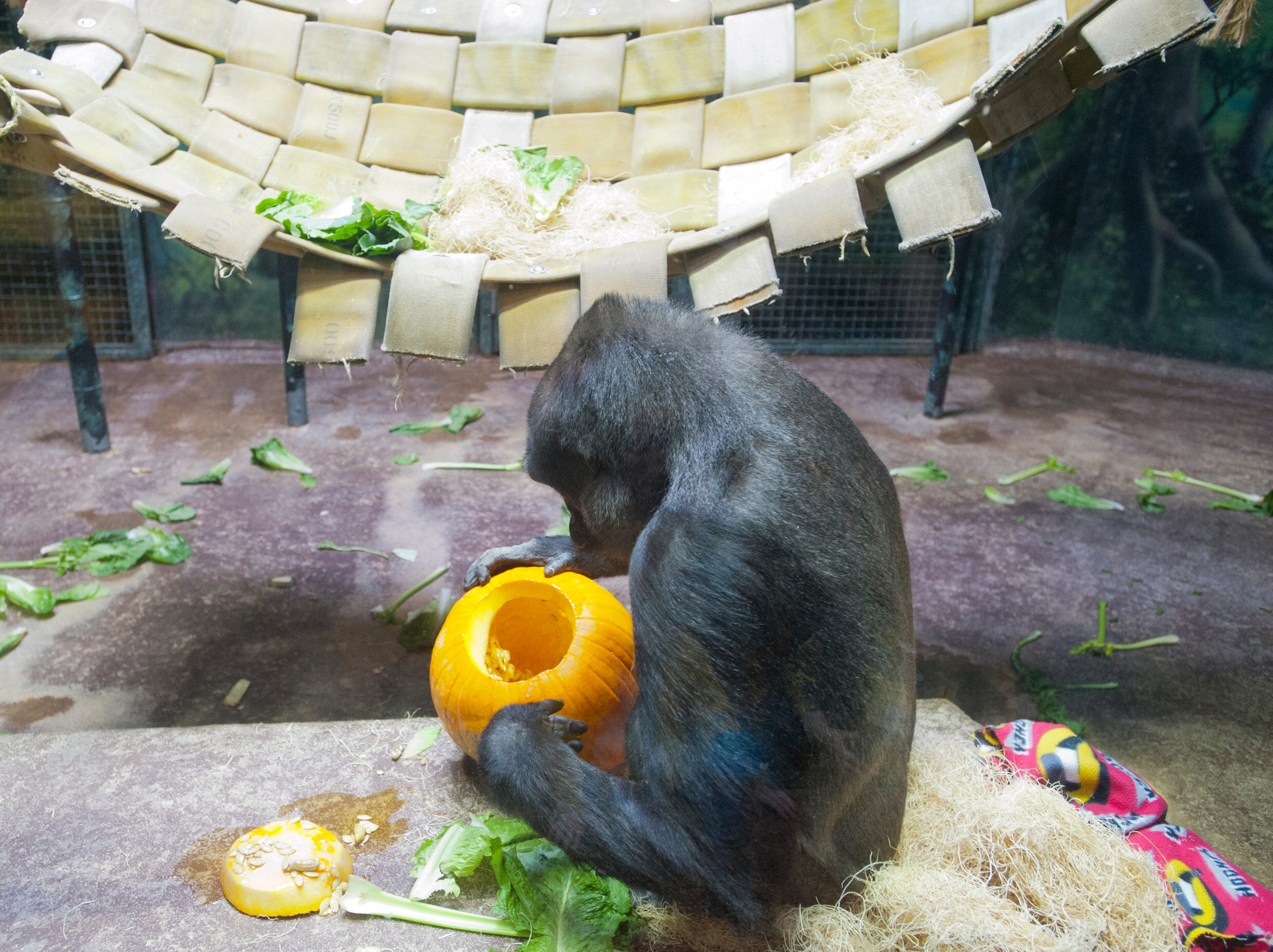 Bandia, a 21-year-old gorilla at the Louisville Zoo's annual pumpkin smash checks out the pumpkin below a hammock. The pumpkins being fed to the animals are from the zoo's Halloween event. November 04, 2018