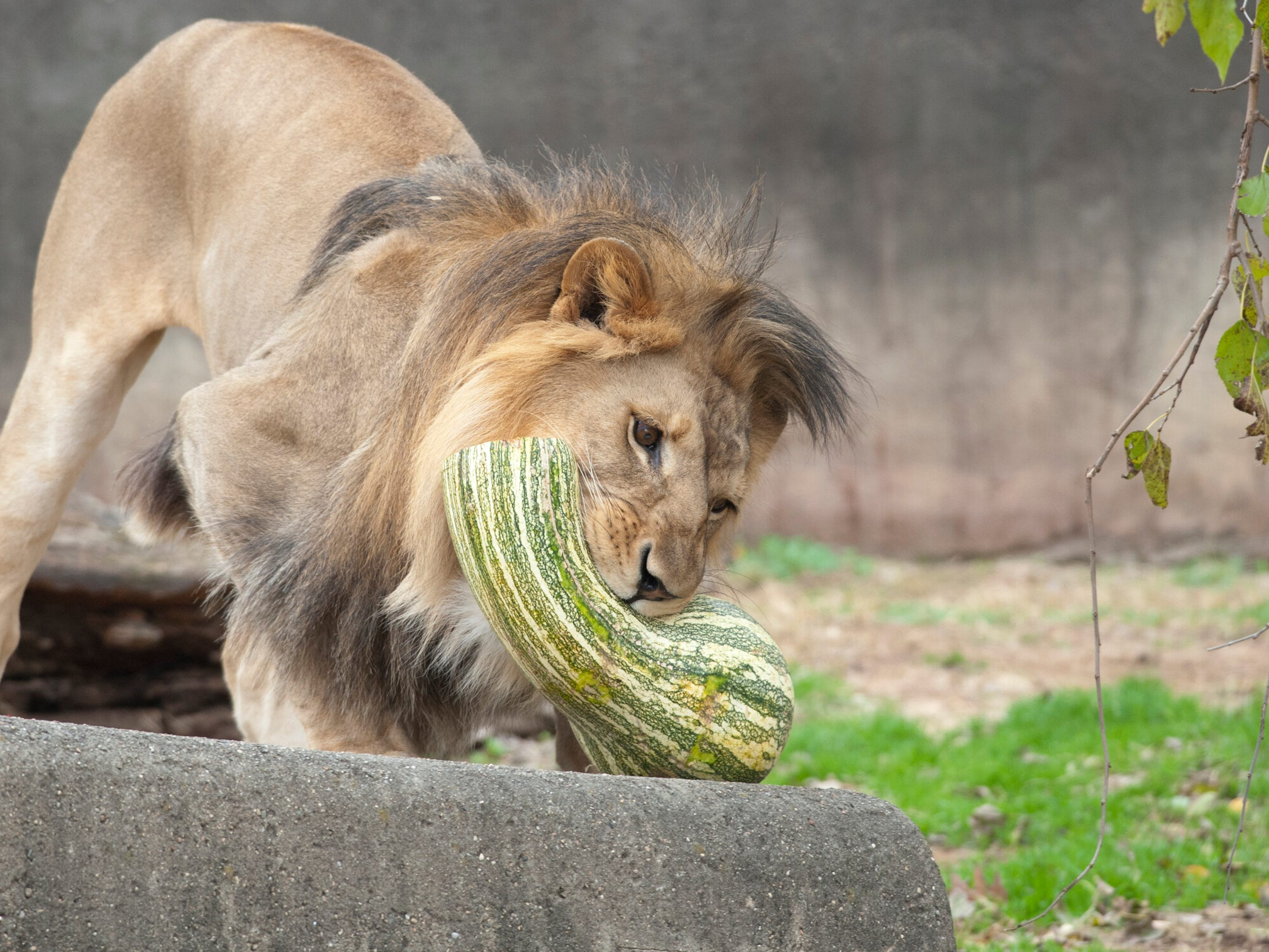 Siyanda, a 3-yr-old male lion shakes a gourd at the Louisville Zoo's annual pumpkin smash. The pumpkins being fed to the animals are from the zoo's Halloween event. November 04, 2018