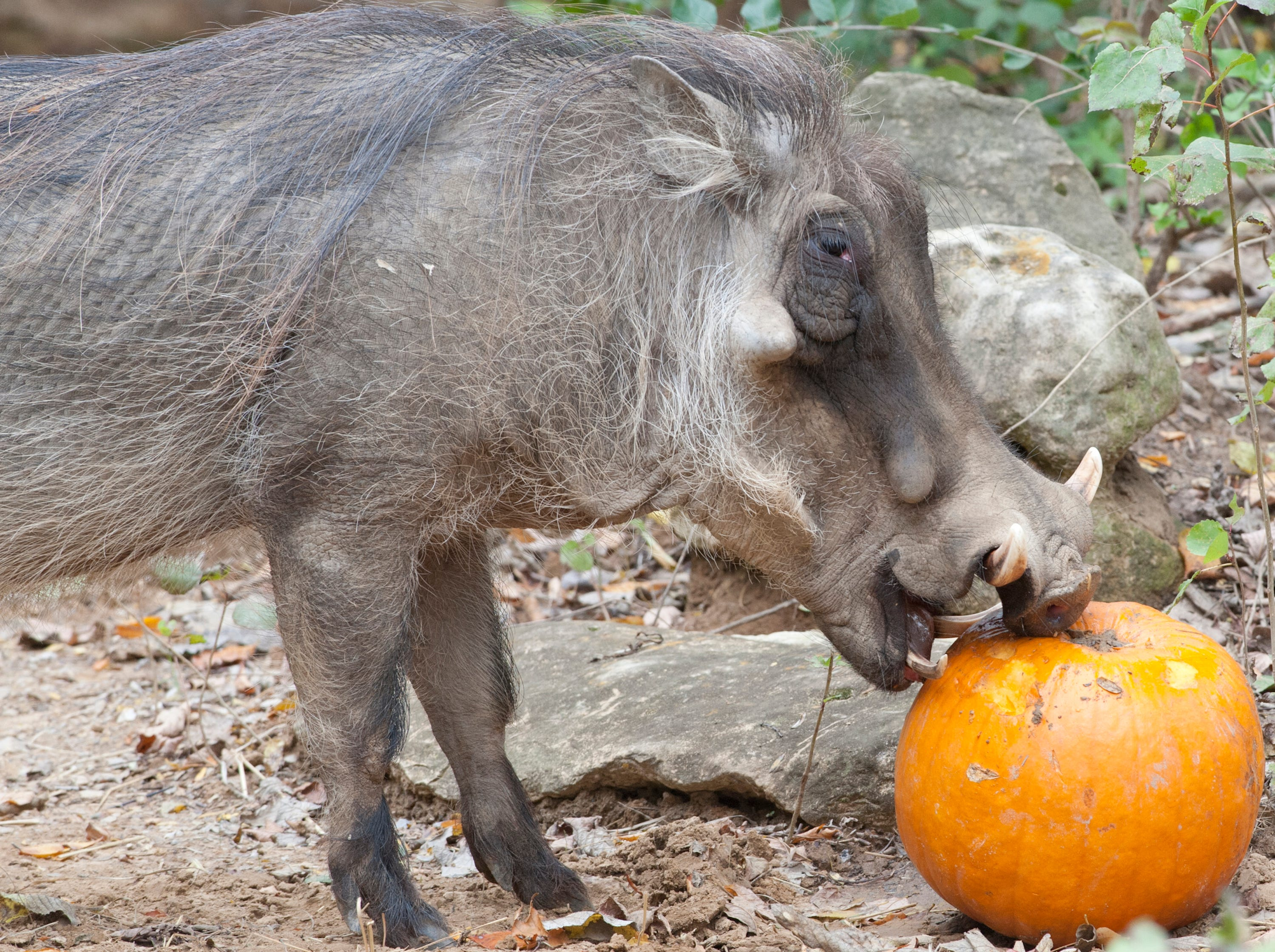 "Digger, a warthog at the Louisville Zoo ""digs into"" a pumpkin during the zoo's annual pumpkin smash. The pumpkins being fed to the animals are from the zoo's Halloween event. November 04, 2018"