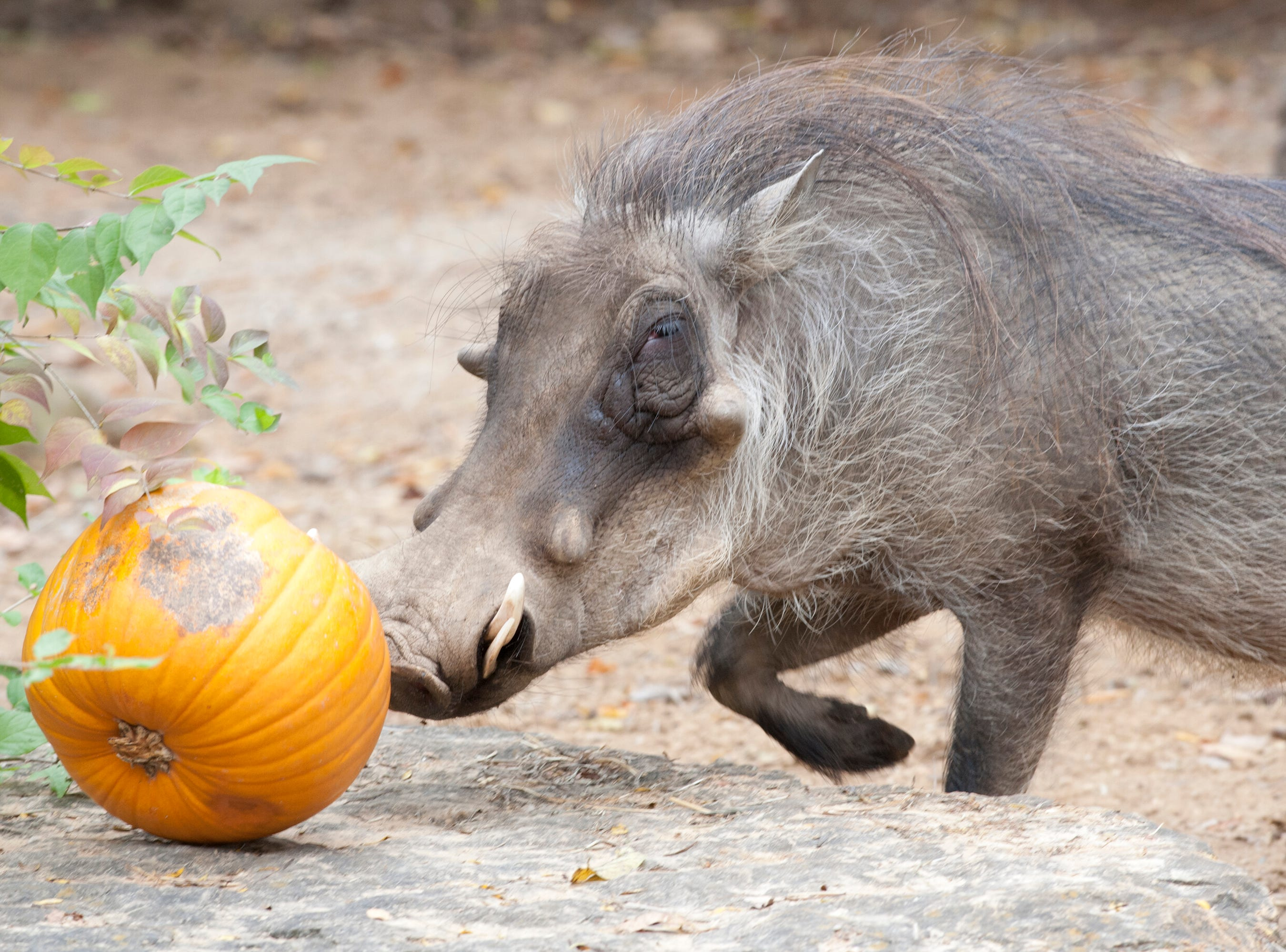 Digger, a warthog at the Louisville Zoo rolls a pumpkin toward a ledge during the zoo's annual pumpkin smash. The pumpkins being fed to the animals are from the zoo's Halloween event. November 04, 2018