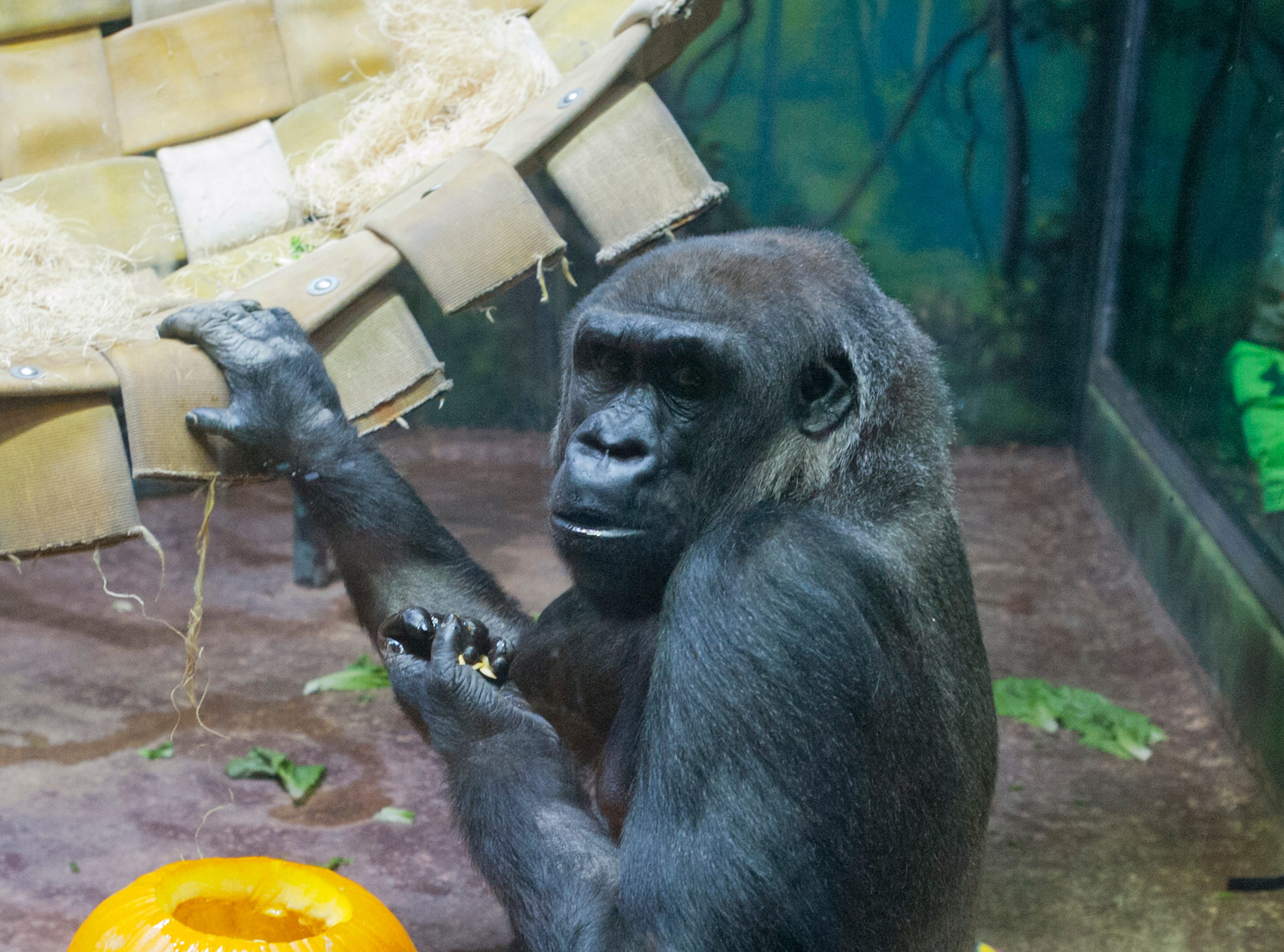 Bandia, a 21-year-old gorilla at the Louisville Zoo's annual pumpkin smash holds a hand full of seeds.. Pumpkins were being fed to the animals left over from the zoo's Halloween event. November 04, 2018