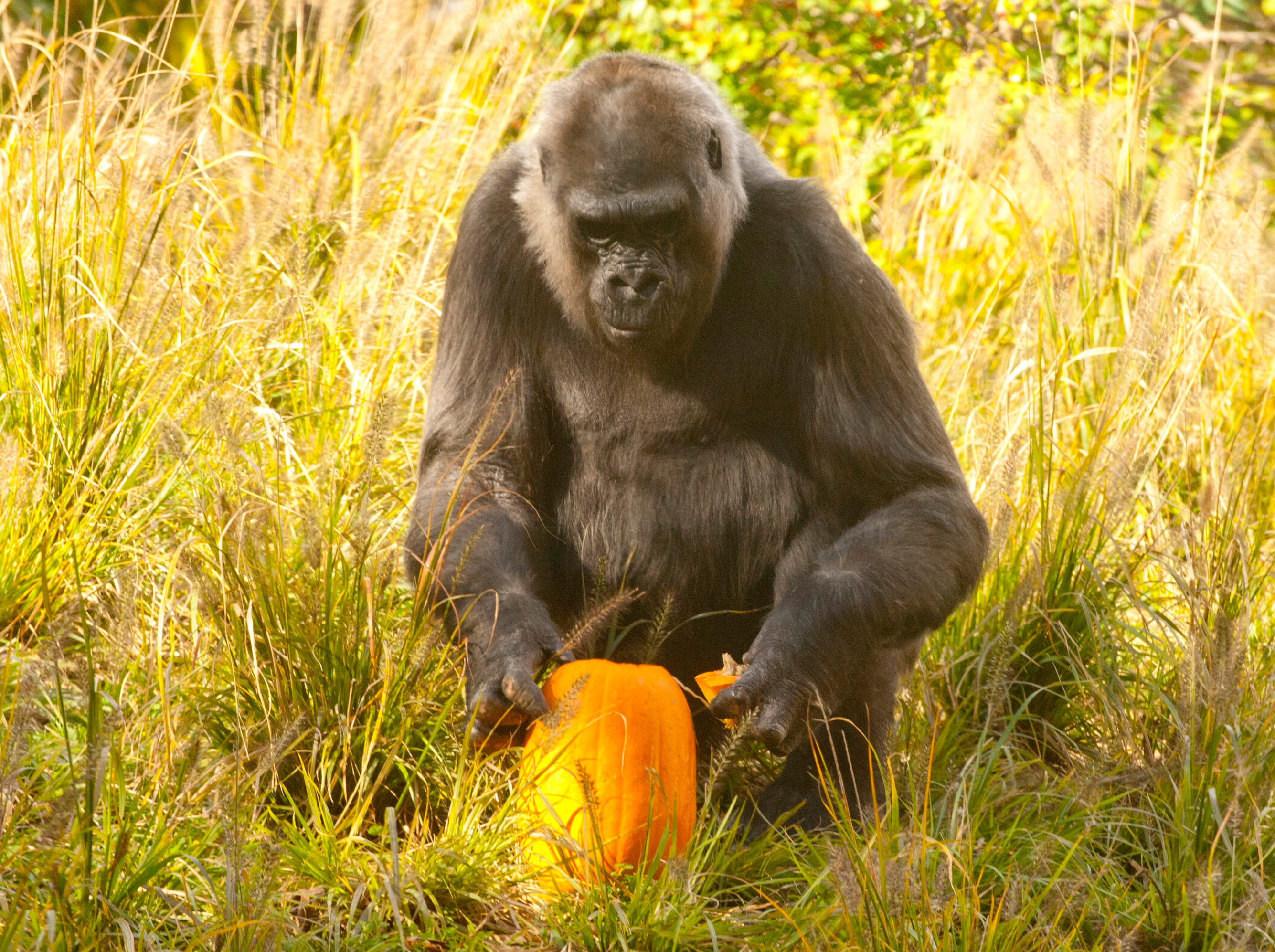 Helen checks out a pumpkin at the Louisville Zoo's annual pumpkin smash. The pumpkins being fed to the animals are from the zoo's Halloween event. November 04, 2018