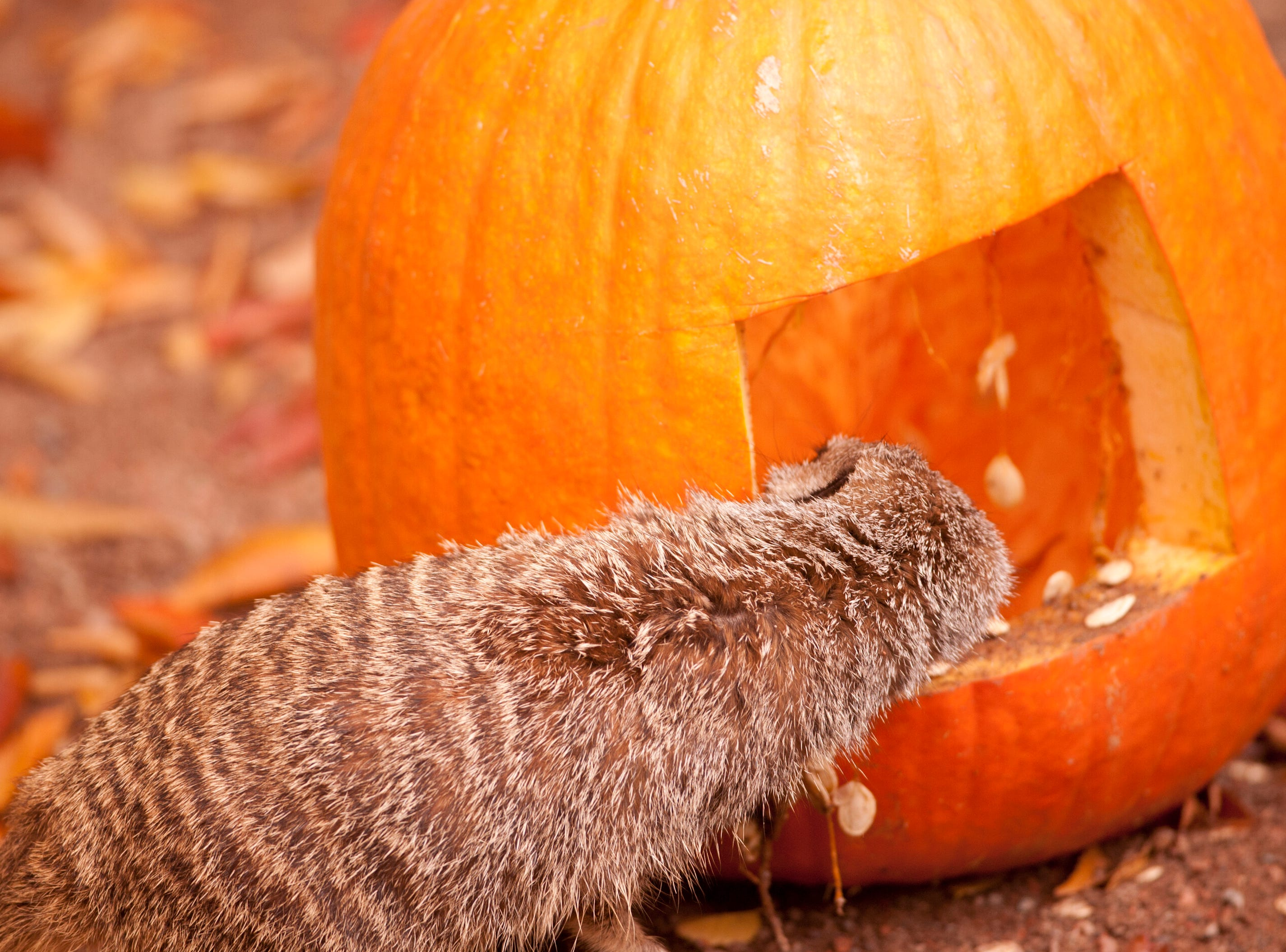 A meerkat peers inside a pumpkin at the Louisville Zoo's annual pumpkin smash. The pumpkins being fed to the animals are from the zoo's Halloween event. November 04, 2018