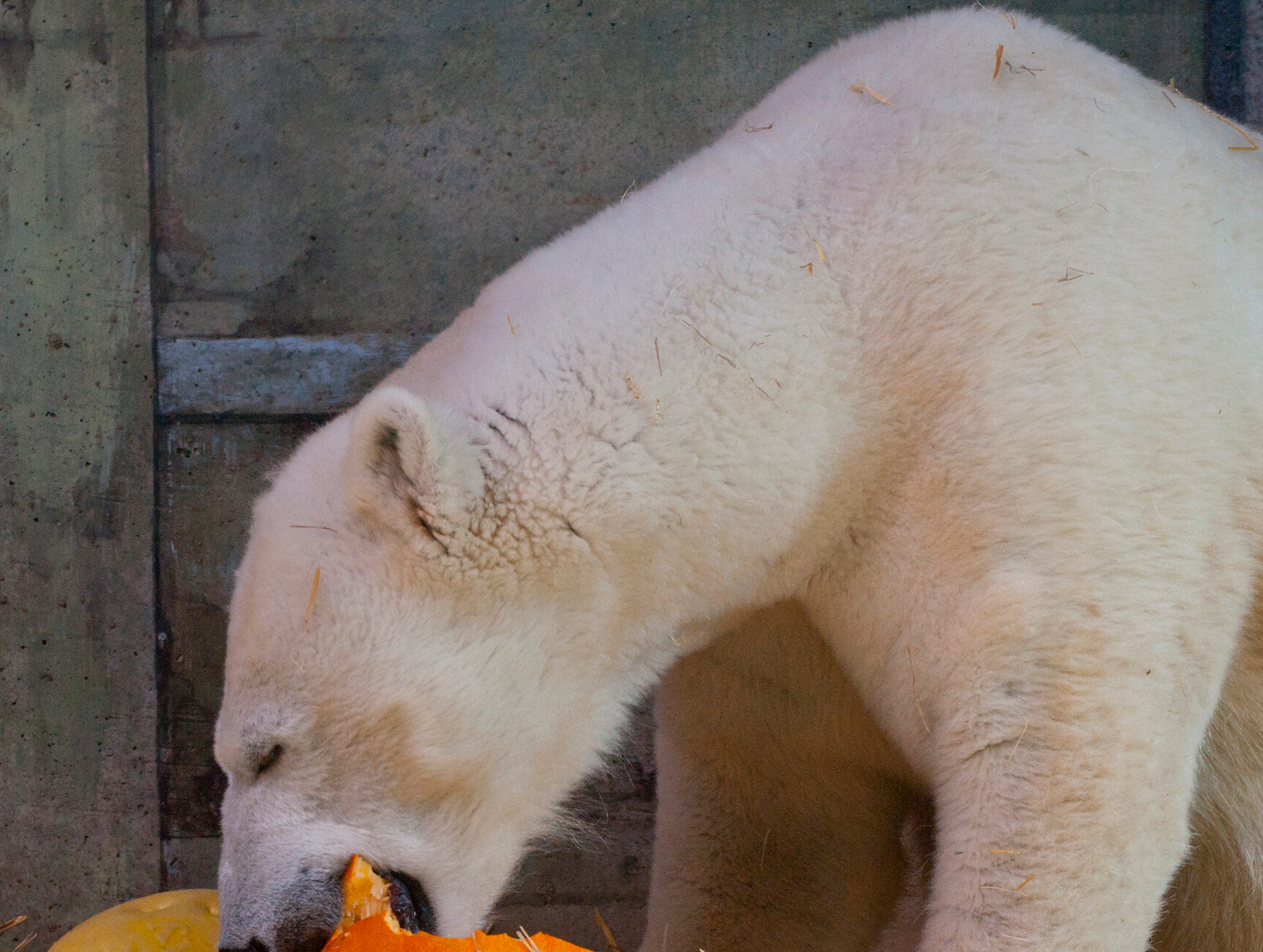 Qannik, a 7-year-old female polar bear, sinks her teeth into a pumpkin at the Louisville Zoo's annual pumpkin smash. The pumpkins being fed to the animals are from the zoo's Halloween event. November 04, 2018
